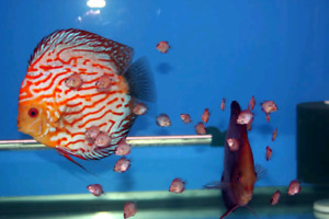 I'M LOOKING FOR JUVENILE DISCUS