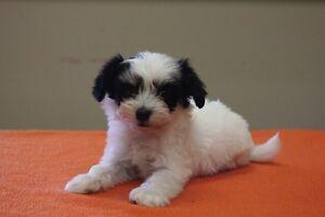 Pending sale Havanese X puppies  <3
