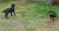 GORGEOUS LAB/ROTTIE X PUPS AVAIL @ PETS NEED LOVE 2 RESCUE