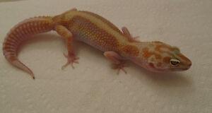F7Female Leopard Gecko - Tangerine, Jungle, Tremper, Carrot Tail