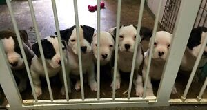 READY TO GO! AMERICAN BULLDOGS PUPPIES FOR SALE!!!!