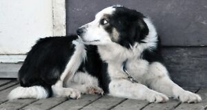 Border Collie Male Needing to be Rehomed Strathcona County Edmonton Area image 10