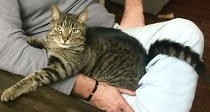 Lost black and grey tabby cat