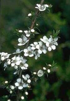 Manuka ( Leptospermum Scoparium ) Seeds for sale Inverell Inverell Area Preview