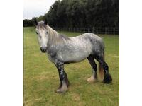 Horse Cob Pony for sharing near Barnet EN5 preferably
