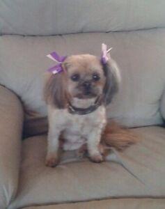 Shih Tzu X Long hair Chihuahua