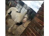 12.2 BLACK AND WHITE COB FOR SALE