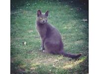 LOST RUSSIAN BLUE CAT/CROYDON/SURREY