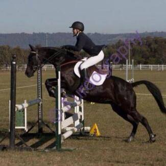 Stockhorse Mare Thirlmere Wollondilly Area Preview
