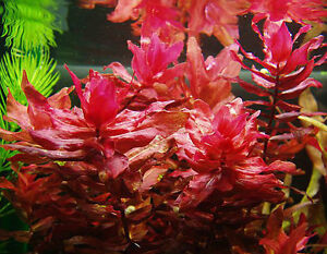 Bunched Aquarium Plants