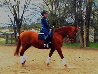 Lovely temperament warmblood mare