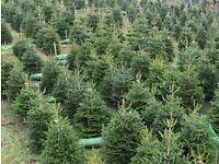 Real Nordmann Fir Christmas Trees for Sale
