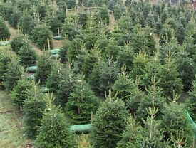 Real Nordmann Fir Christmas Trees for Sale @ VAPOURLICIOUS