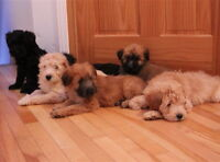 Wheaten Terrier x Poodle Puppies Whoodle Puppies