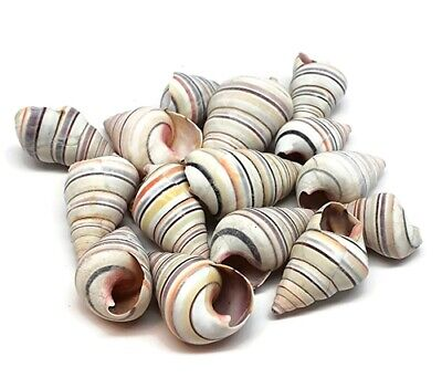 12 Striped Haitian Tree Snail Colorful Shells, Free Shipping BuytheSea