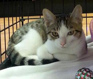 "Young Male Cat - Domestic Short Hair: ""Stevie"""