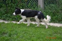 BORDER COLLIE ENREGISTRE