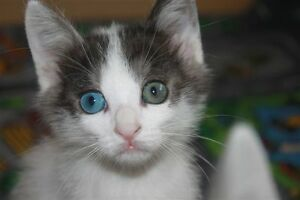 Rare Japanese Bobtail Kittens (Odd-eyed)