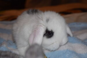 Adorable American Fuzzy baby Mini Lops Only 2 left! Ready to go!