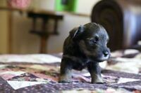 Miniature Schnauzers Puppies For Sale - Cold Lake