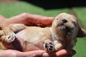 Stunning cavoodle puppies Flemington Melbourne City Preview