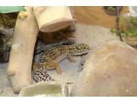 Male Leopard Gecko complete set-up with vivarium, equipment and cabinet