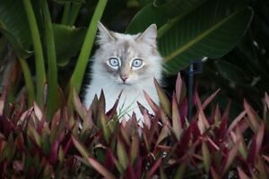 Regretful rehoming of our Ragdoll X Cat - 4 years old Palm Beach Gold Coast South Preview