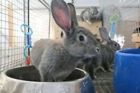 Giant Chinchilla Rabbits - Rare Breed Listed