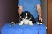 Border Collie Nowra Hill Nowra-Bomaderry Preview
