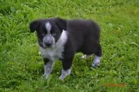 BORDER COLLIE ENREGISTRE DISPONIBLE