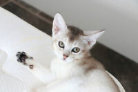 ABYSSINIAN KITTENS / CHATONS ABYSSIN