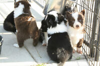 Registered Male Border Collie Puppies