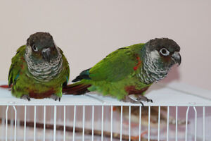 Proven Breeding Pair of Conures