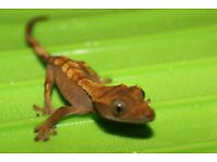 Gorgeous Flame Crestie Hatchling Extreme Lineage