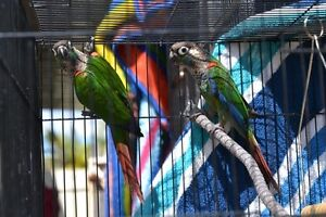 PEARLY CONURE UNRELATED PAIR Merrimac Gold Coast City Preview