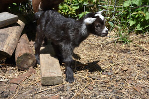 Nigerian Dwarf Goat Does - Ready to go in September