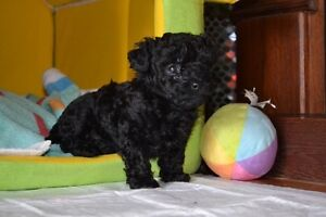 Caniche toy pure race