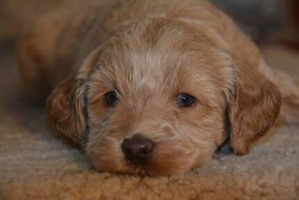Labradoodle: Stunning puppies non shedding, low odour.