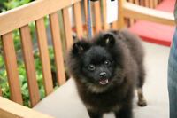 CKC Registered Purebred Pomeranian Puppy