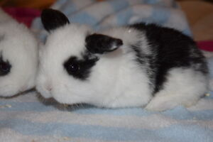 Taking deposits on Adorable baby mini Lops for Christmas! St. John's Newfoundland image 9
