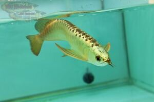 Dreamfish Gold Head Premium Gold Cross Back Asian arowana