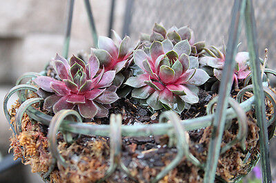 Hens and Chicks (Sempervivum)