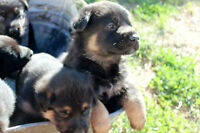 German Shepherd Puppies. (Last One!!!)