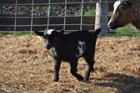 Fainting goat-Wether