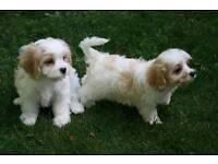 Lovely cavapoo puppies