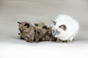 Balinese Kittens for sale - Hypoallergenic Kitten- Siamese Lover