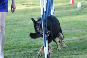 Registered German Shepherd Puppies - All pups Now Sold