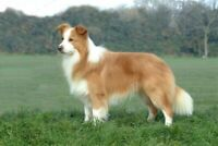 Wanted a red Border collie