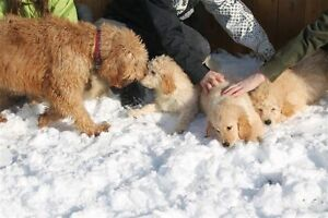 Goldendoodle Puppies-ONE MALE & ONE FEMALE AVAILABLE STILL