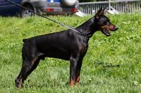 CKC Registered European Doberman Puppies